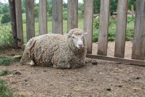 74e93300c52 Prodám ovečky jehničky Merino - Prodám ovečky – jehničky