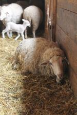 71adefba7e5 Prodám ovečky jehničky Merino Prodám ovečky jehničky Merino ...