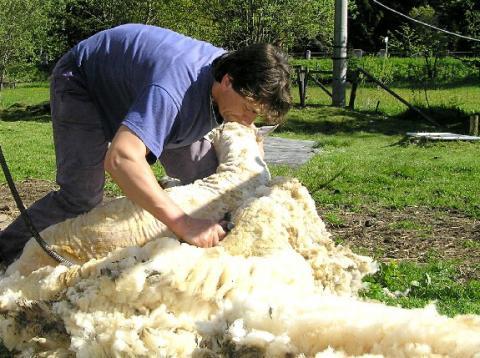 švarc - Profesionální stříhání ovcí. Úprava paznehtů ovcí i skotu a ... 5e2ffe97617